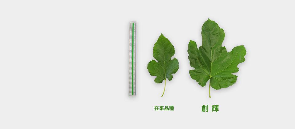 在来品種に比べて約1.5倍の大きな葉